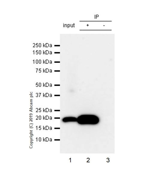 Immunoprecipitation - Anti-Bax antibody [5B7] - BSA and Azide free (ab252258)
