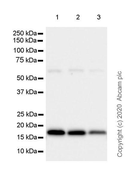 Western blot - Anti-Superoxide Dismutase 1 antibody [EPR23549-163] (ab252426)