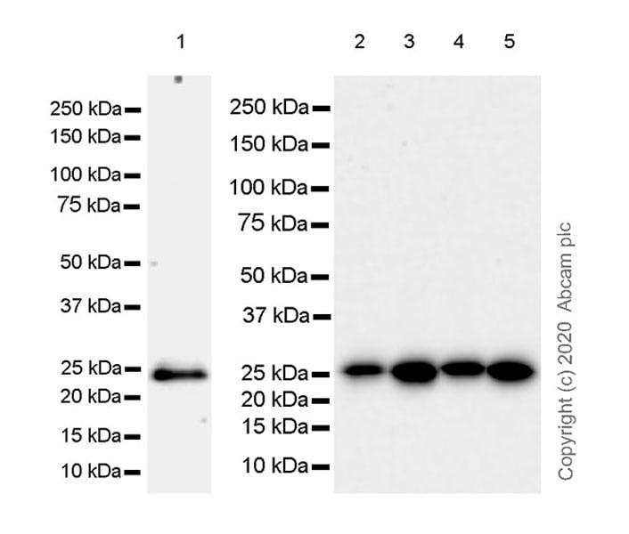 Western blot - Anti-mtTFA antibody [EPR23548-120] (ab252432)