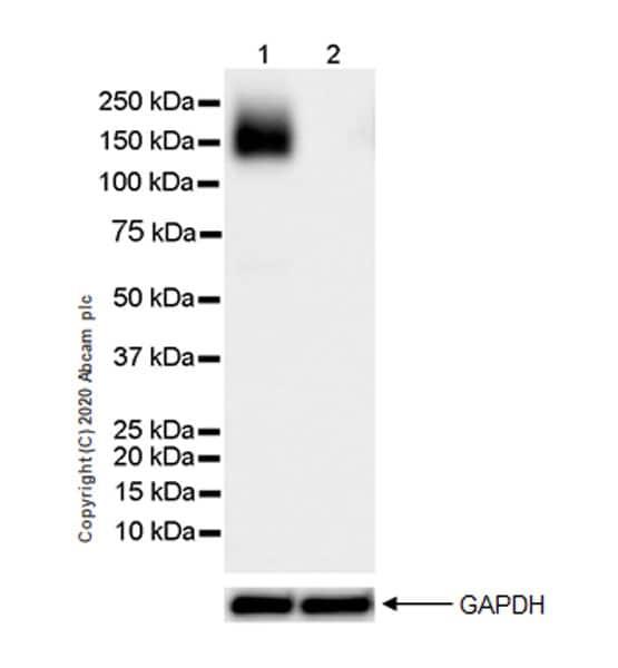 Western blot - Anti-eNOS antibody [EPR23750-3] (ab252439)