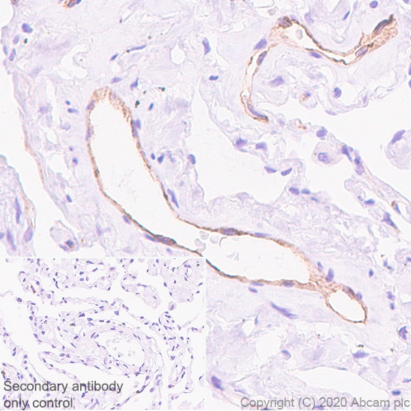 Immunohistochemistry (Formalin/PFA-fixed paraffin-embedded sections) - Anti-eNOS antibody [EPR23750-3] (ab252439)