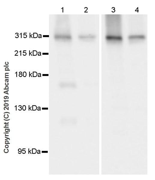 Western blot - Anti-IP3 receptor antibody [L24/18] (ab252536)
