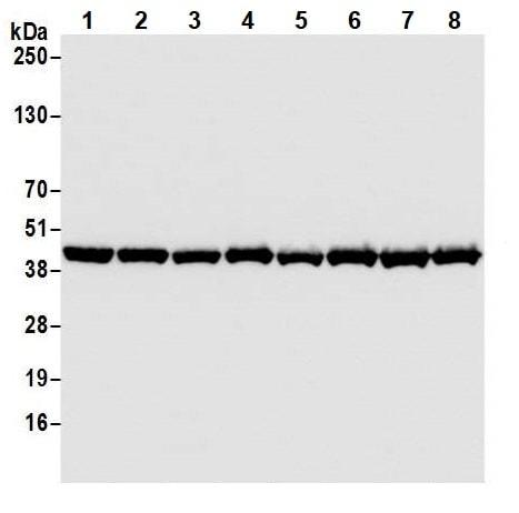 Western blot - Anti-beta Actin antibody [BLR057F] (ab252556)