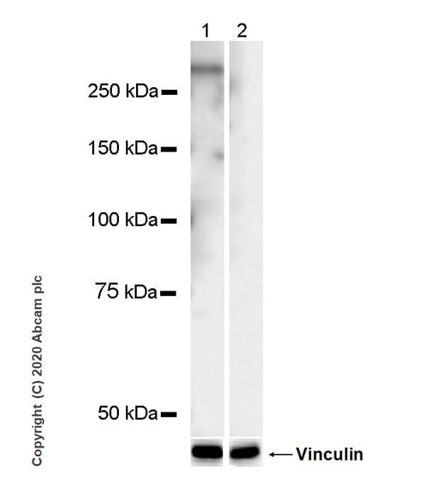 Western blot - Anti-RNA polymerase II CTD repeat YSPTSPS (phospho T4) antibody [6D7] (ab252851)