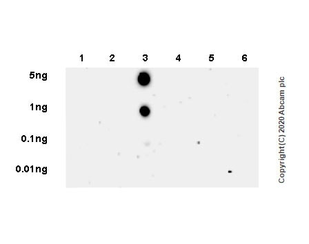 Dot Blot - Anti-RNA polymerase II CTD repeat YSPTSPS (phospho T4) antibody [6D7] (ab252851)