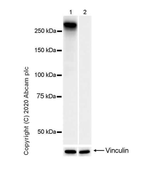 Western blot - Anti-RNA polymerase II CTD repeat YSPTSPS (phospho S5) antibody [3E8] (ab252852)