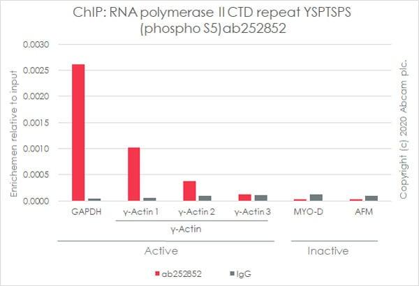 ChIP - Anti-RNA polymerase II CTD repeat YSPTSPS (phospho S5) antibody [3E8] (ab252852)