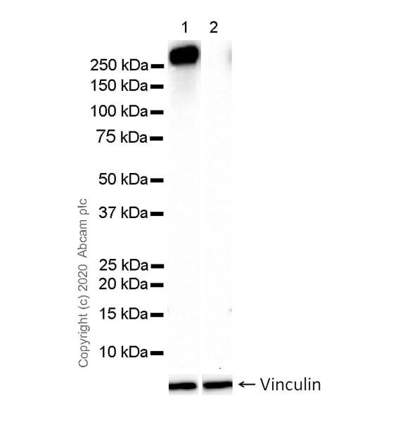 Western blot - Anti-RNA polymerase II CTD repeat YSPTSPS (phospho S7) antibody [4E12] (ab252853)