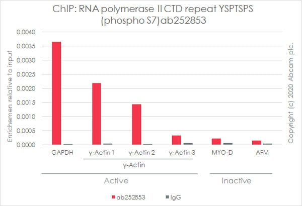 ChIP - Anti-RNA polymerase II CTD repeat YSPTSPS (phospho S7) antibody [4E12] (ab252853)