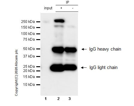 Immunoprecipitation - Anti-RNA polymerase II CTD repeat YSPTSPS antibody [1C7] (ab252854)
