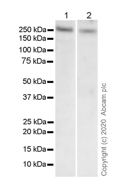 Western blot - Anti-RNA polymerase II CTD repeat YSPTSPS antibody [1C7] (ab252854)