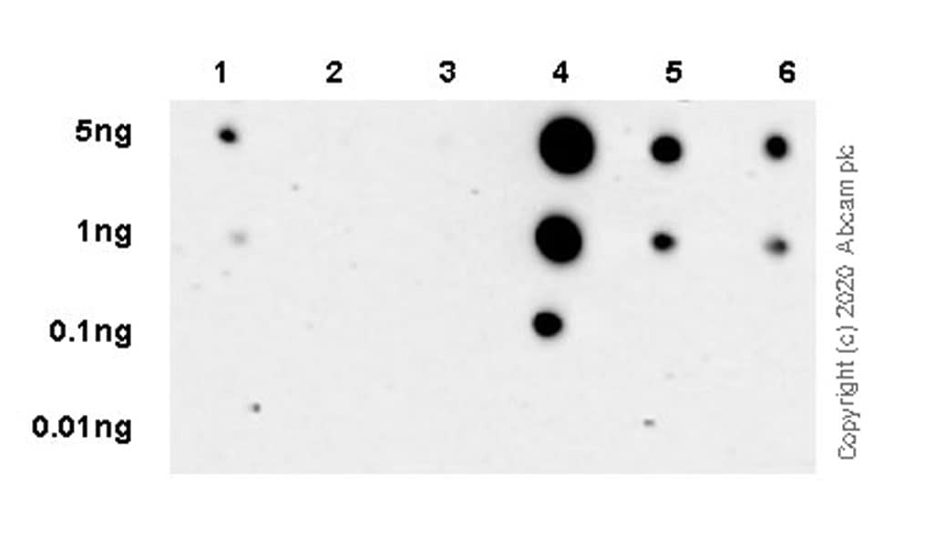 Dot Blot - Anti-RNA polymerase II CTD repeat YSPTSPS antibody [1C7] (ab252854)