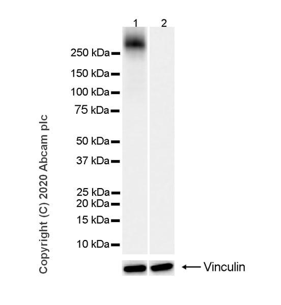 Western blot - Anti-RNA polymerase II CTD repeat YSPTSPS (phospho S2) antibody [3E10] (ab252855)