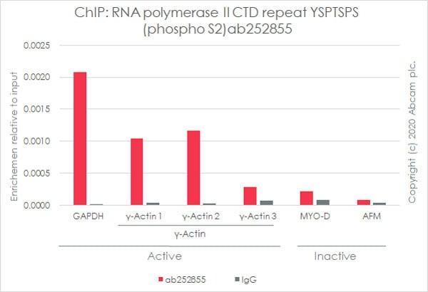 ChIP - Anti-RNA polymerase II CTD repeat YSPTSPS (phospho S2) antibody [3E10] (ab252855)