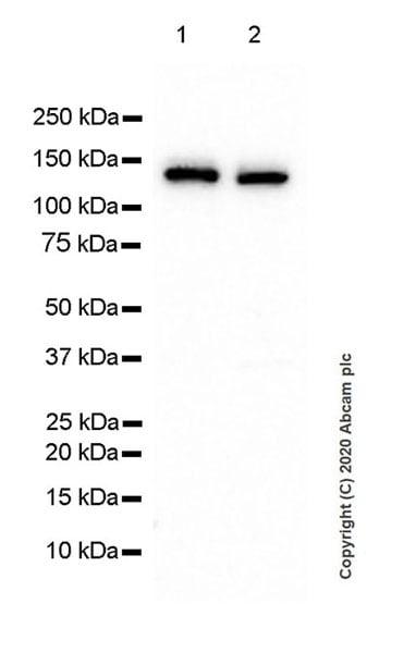 Western blot - Anti-HAUSP / USP7 antibody [3D8] (ab252877)