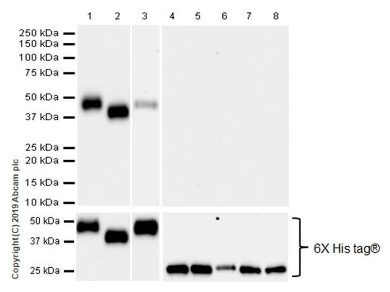 Western blot - Anti-KIR2DL1 + KIR2DL2 antibody [EPR22492-92] (ab252936)