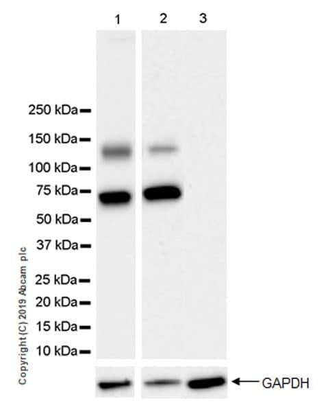 Western blot - Anti-CDCP1 antibody [EPR23162-102] (ab252947)