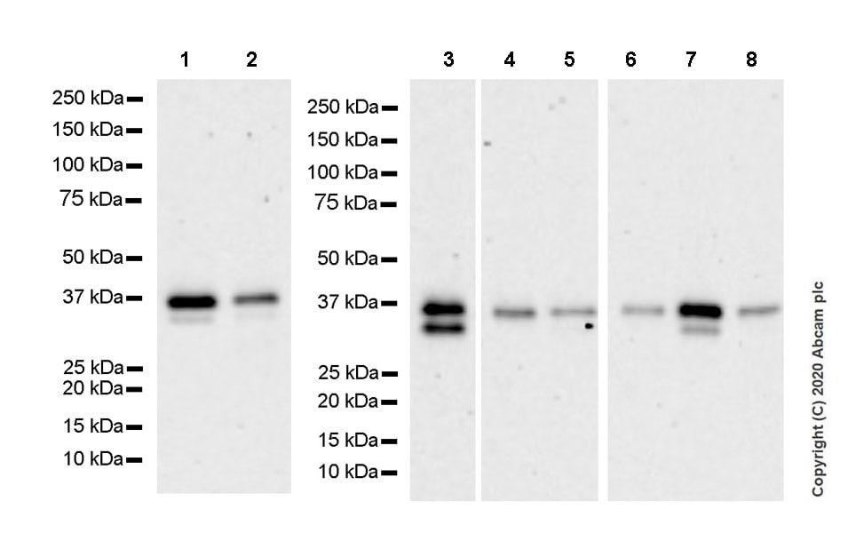 Western blot - Anti-ZWINT antibody [EPR23440-96] (ab252950)