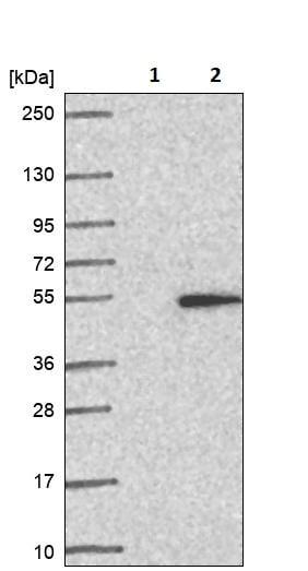 Western blot - Anti-C1orf177 antibody (ab252956)
