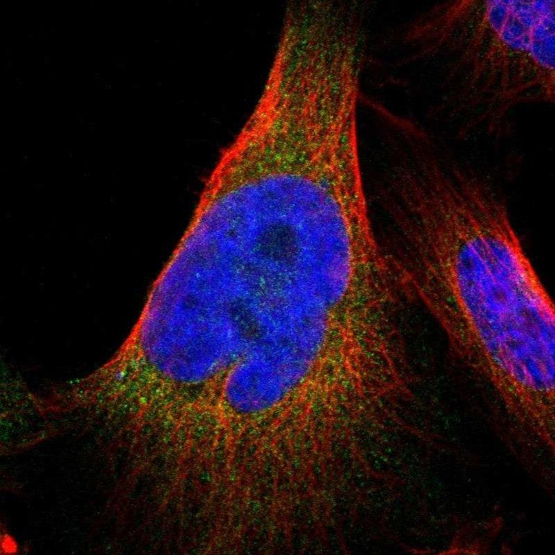 Immunocytochemistry/ Immunofluorescence - Anti-JWA antibody (ab252960)