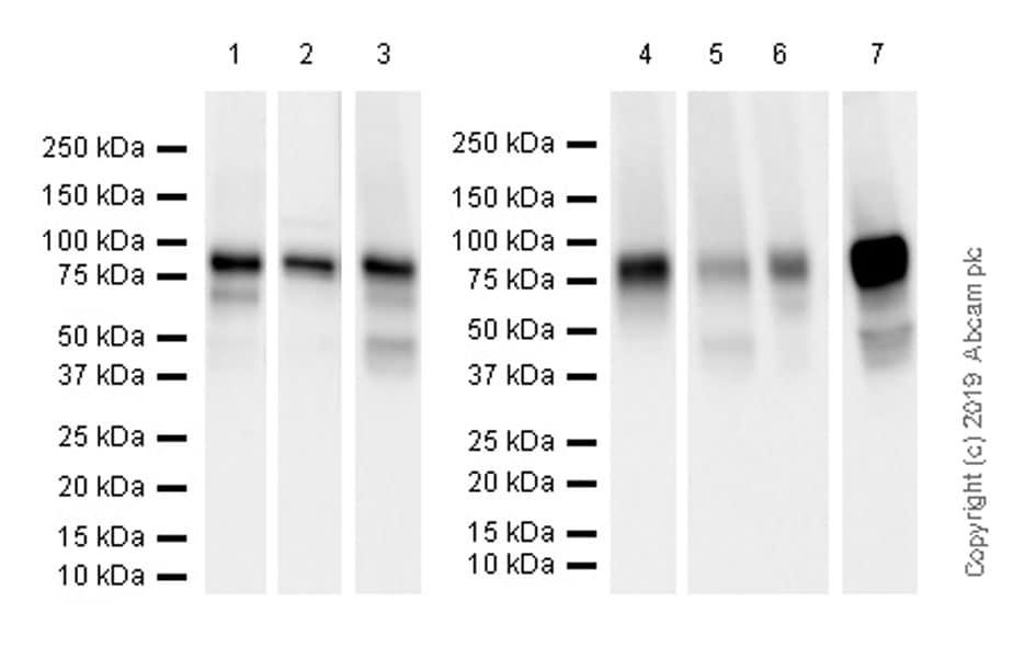 Western blot - Anti-Extracellular matrix protein 1 antibody [EPR22411-279] (ab253185)