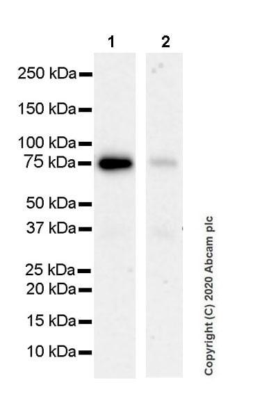 Western blot - Anti-MeCP2 antibody [EPR23201-3] (ab253197)