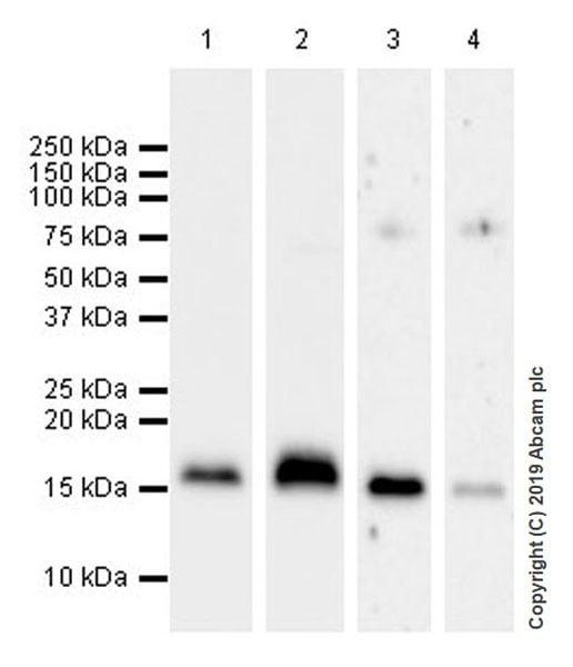 Western blot - Anti-CDNF antibody [EPR22334-99] (ab253238)