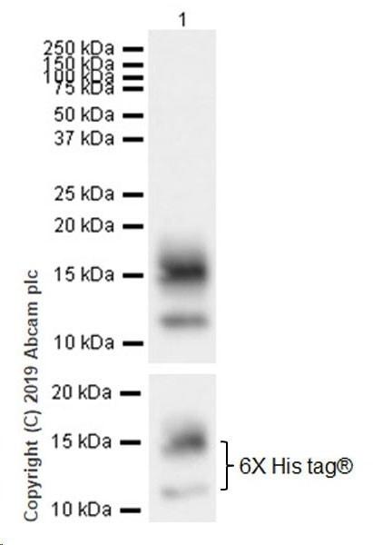 Western blot - Anti-BCMA antibody [EPR22457-260] (ab253242)
