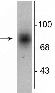 Western blot - Anti-Dopamine Transporter antibody (ab254059)