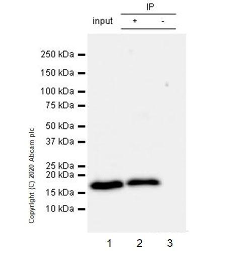 Immunoprecipitation - Anti-RHOG antibody [1F3-RHOG] (ab254147)