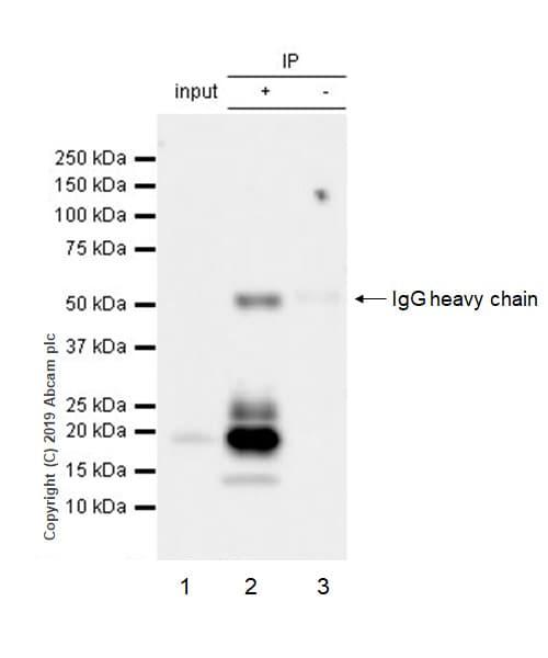 Immunoprecipitation - Anti-BCMA antibody [EPRBOB-R1-F1-24] - BSA and Azide free (ab254206)