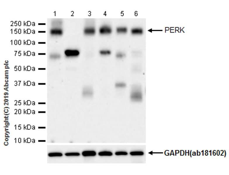 Western blot - Anti-PERK antibody [EPR19876-294] - BSA and Azide free (ab254249)