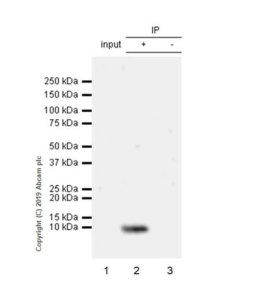 Immunoprecipitation - Anti-Amylin/DAP antibody [EPR22556-138] (ab254259)