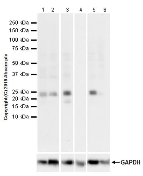 Western blot - Anti-ATF3 antibody [EPR22610-19] - ChIP Grade (ab254268)