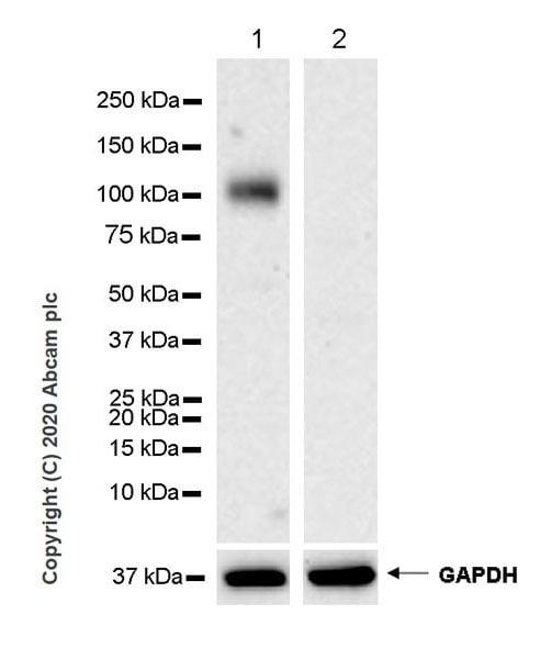 Western blot - Anti-EMR1/ADGRE1 antibody [EPR23225-94] (ab254293)