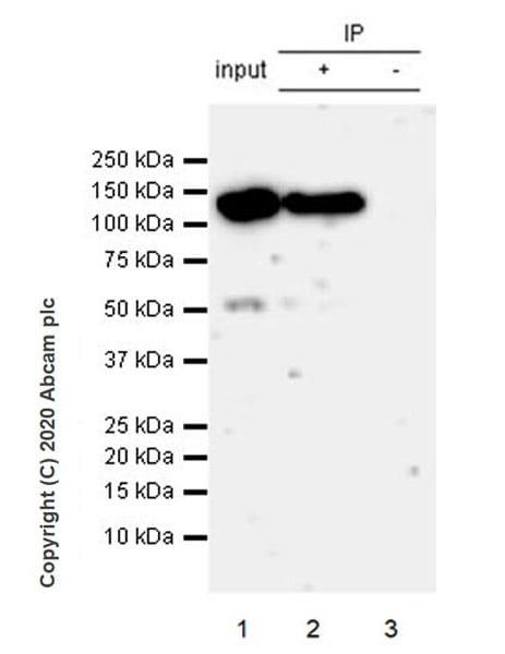 Immunoprecipitation - Anti-Eg5 antibody [EPR23276-52] (ab254298)