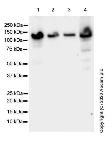 Western blot - Anti-Eg5 antibody [EPR23276-52] (ab254298)