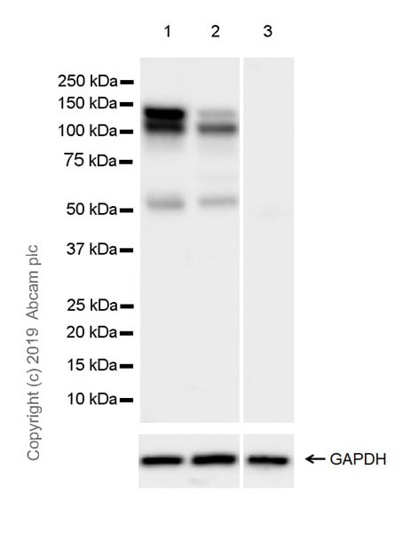 Western blot - Anti-Eg5 antibody [EPR23277-60] (ab254299)