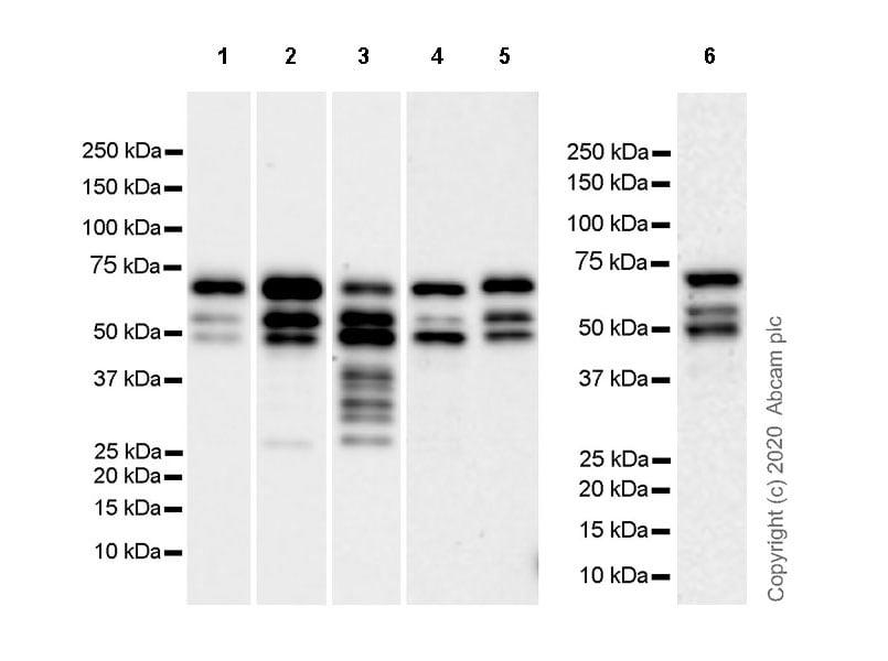 Western blot - Anti-MTF2 antibody [EPR23536-87] (ab254336)
