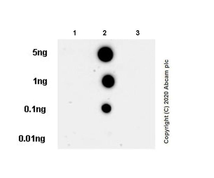 Dot Blot - Anti-Smad2 (phospho T8) + Smad3 (phospho T8) antibody [EPR23682-64] (ab254407)
