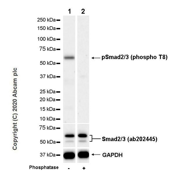Western blot - Anti-Smad2 (phospho T8) + Smad3 (phospho T8) antibody [EPR23682-64] (ab254407)