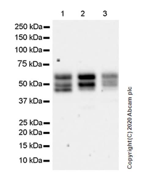 Western blot - Anti-A2BP1/Fox1/RBFOX1 antibody [EPR23627-50] (ab254412)