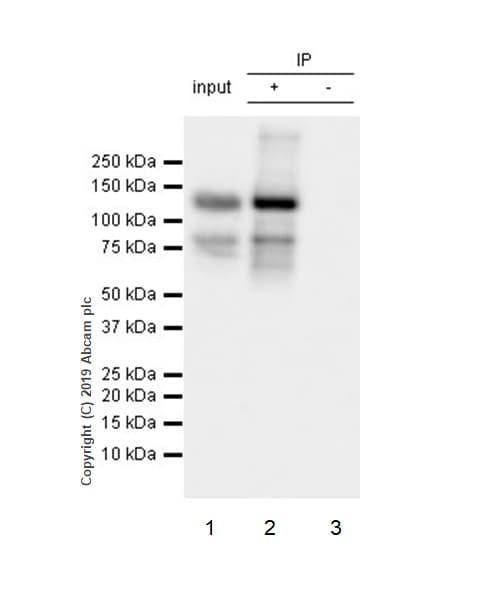 Immunoprecipitation - Anti-Rad21 antibody [EPR22506-15] - BSA and Azide free (ab254483)