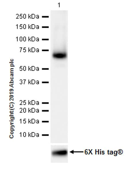 Western blot - Anti-LBP antibody [EPR22559-261] (ab254559)