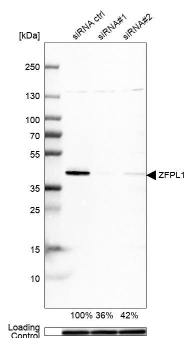 Western blot - Anti-ZFPL1 antibody (ab254597)