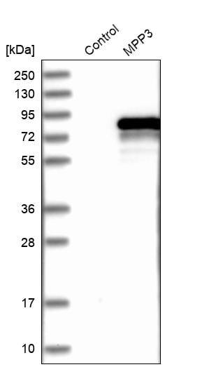 Western blot - Anti-MPP3/DLG3 antibody (ab254633)