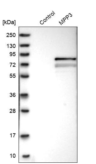 Western blot - Anti-MPP3/DLG3 antibody (ab254634)