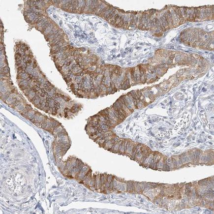 Immunohistochemistry (Formalin/PFA-fixed paraffin-embedded sections) - Anti-ANKS1A antibody (ab254690)