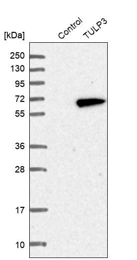 Western blot - Anti-TULP3 antibody (ab254692)