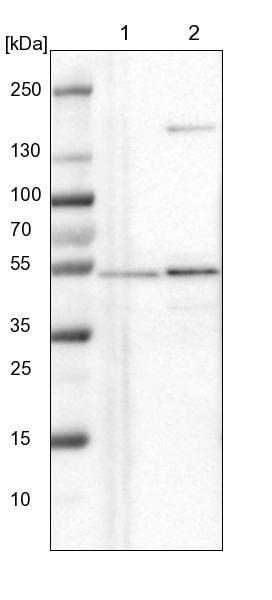 Western blot - Anti-NLE1/nle antibody (ab254731)